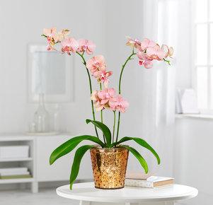 Orchidee Mimi im Übertopf