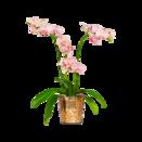 Pflanze Orchidee Mimi
