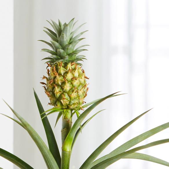 ananas pflanze mit schokolade sch n dass es dich gibt. Black Bedroom Furniture Sets. Home Design Ideas