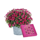 Pflanze Violette Chrysantheme mit Lindt Mini Pralinés