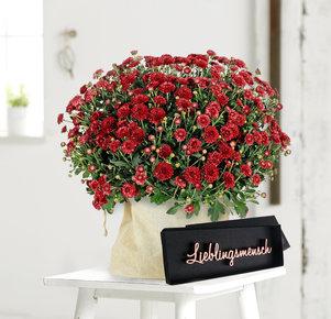 Rote Chrysantheme mit Schriftzug Lieblingsmensch