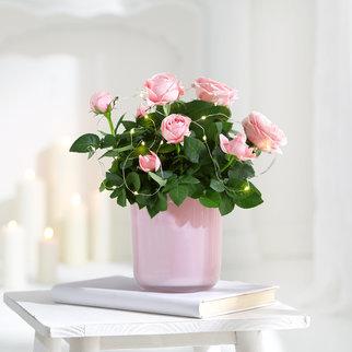 Pflanze Rose Petty Sue in Rosa und Grün