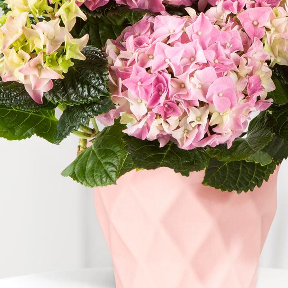 Hortensie in Rosa im Keramik-Übertopf