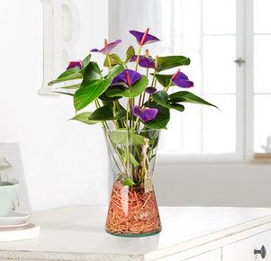Pflanze Water Anthuria in Lila und Grün