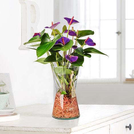 Anthurie Water Plant in Eco Vase in Lila und Grün