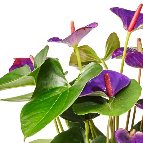Anthurie Water Plant mit Glasvase