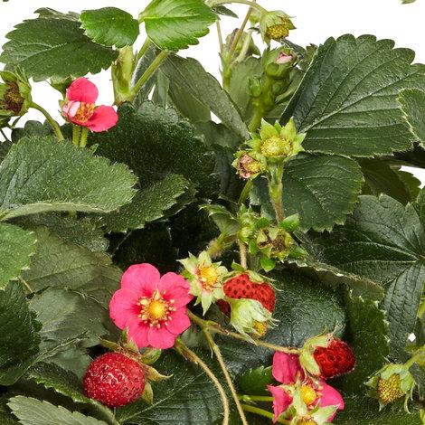 Erdbeerpflanzen im Kasten