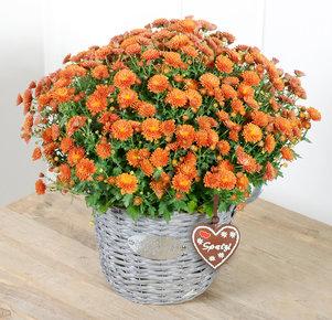 Chrysantheme Oktoberfest