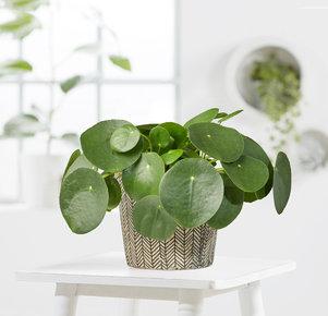 Pflanze Pilea peperomioides in Weiss, Schwarz und Grün