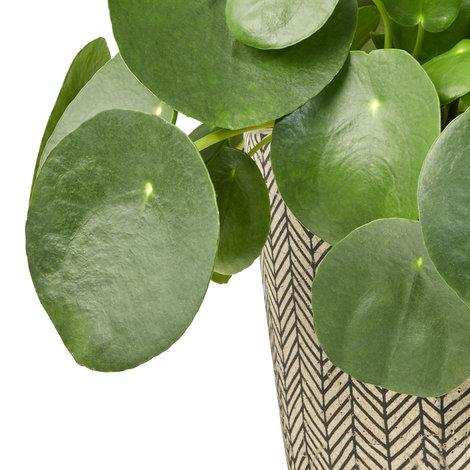 pilea peperom chinesischer gl cksbaum serax. Black Bedroom Furniture Sets. Home Design Ideas