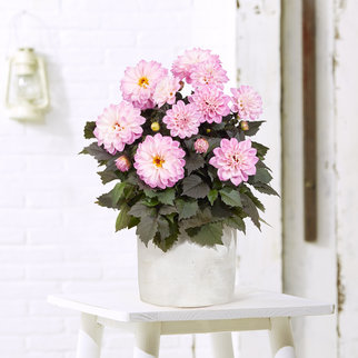 Dahlie in Rosé im Zement-Übertopf