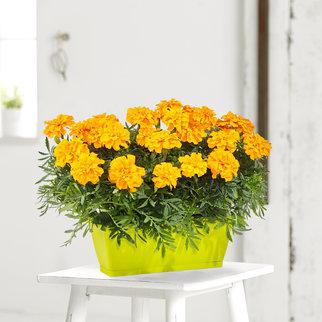 Sommerblüher in Gelb im Blumenkasten