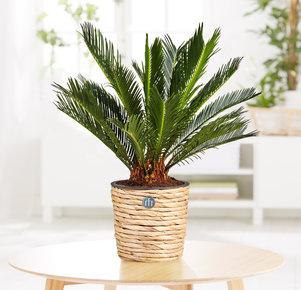 Pflanze Palmfarn in Grün und Braun