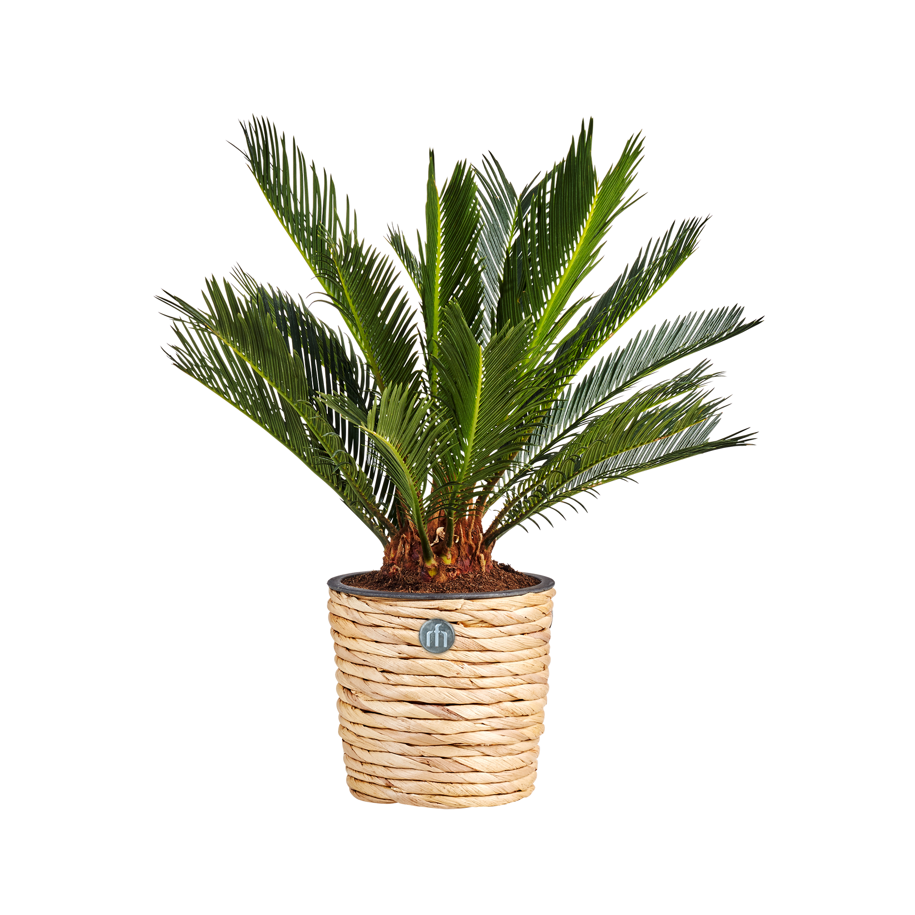 Pflanze Palmfarn