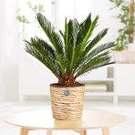 Palmfarn im Korb aus Wasserhyazinthe