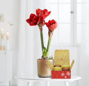 Pflanze Rote Amaryllis mit Macaron in Rot, Gold und Grün