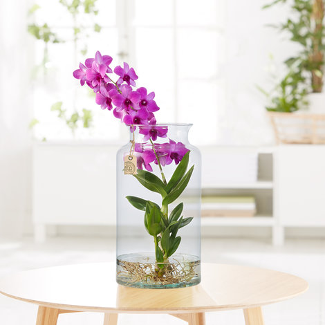 Dendrobium Water Plant in Eco Vase in Pink