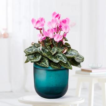 Cyclame in Rosa im Keramik-Übertopf