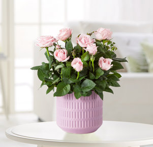Pflanze Topfrose Infinity in Rosa und Lila