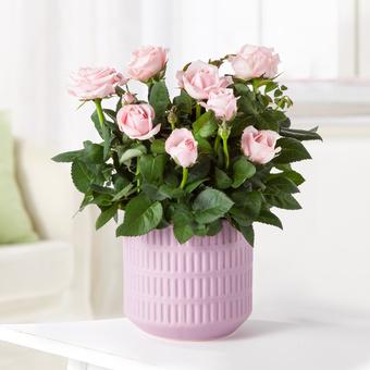 Topfrose in Rosa im Keramik-Übertopf