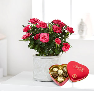 Pflanze Pinke Rose mit Lindt Herz in Rot, Pink und Grau