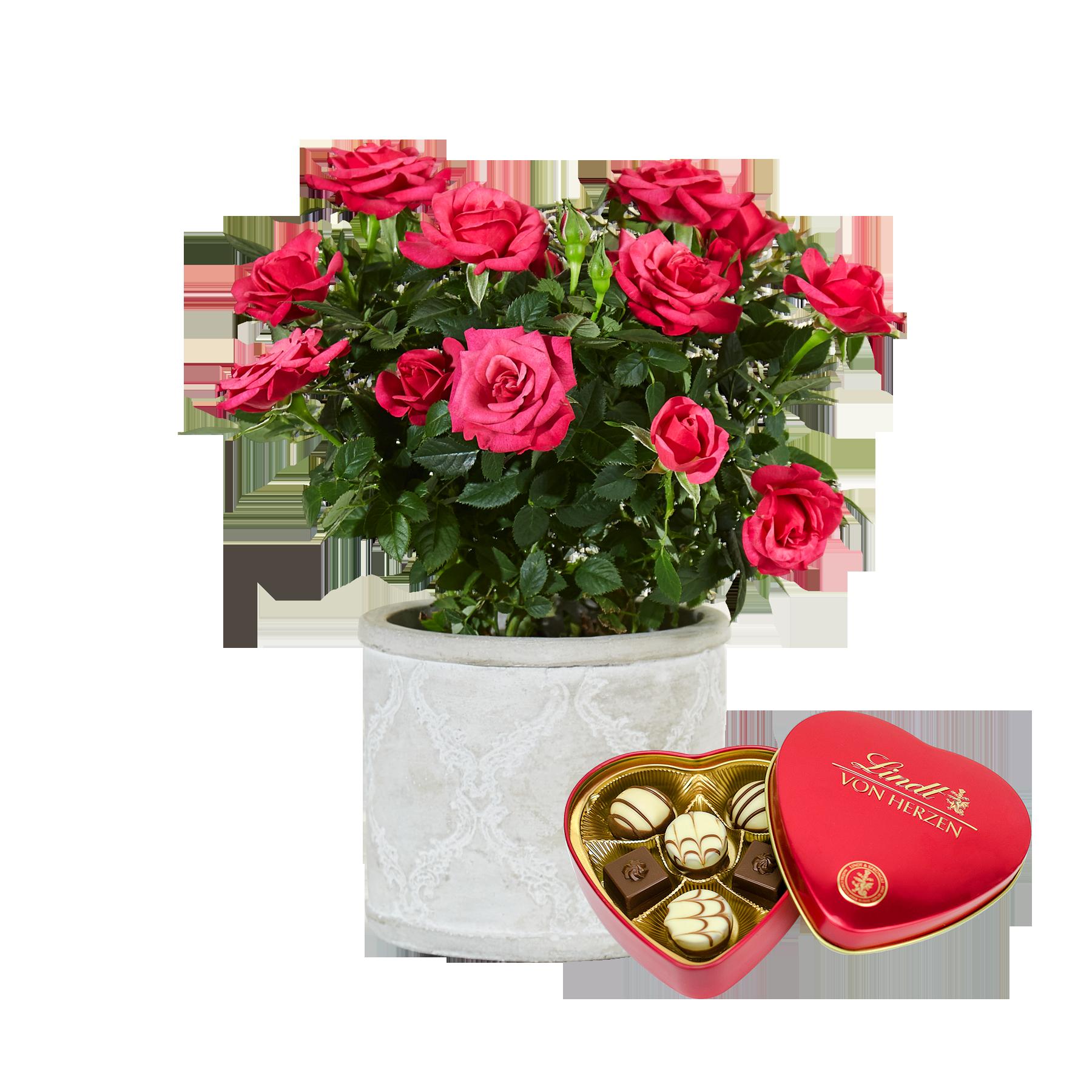 #Pflanze Pinke Rose mit Lindt Herz#