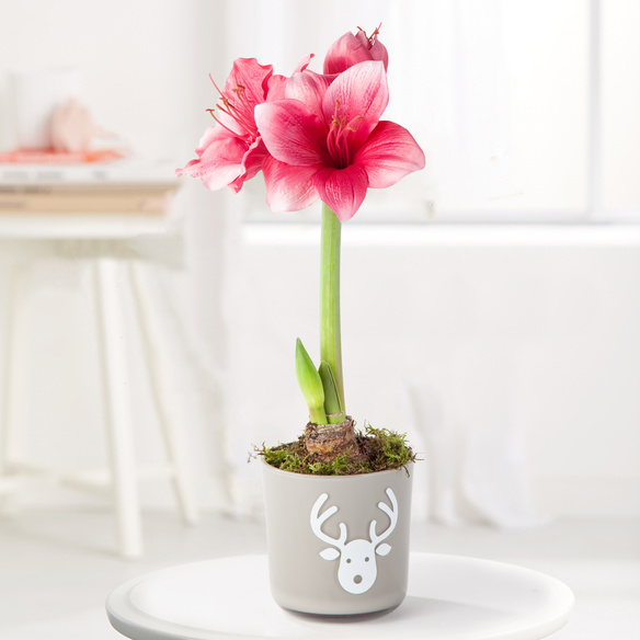 amaryllis in rosa im glas bertopf. Black Bedroom Furniture Sets. Home Design Ideas
