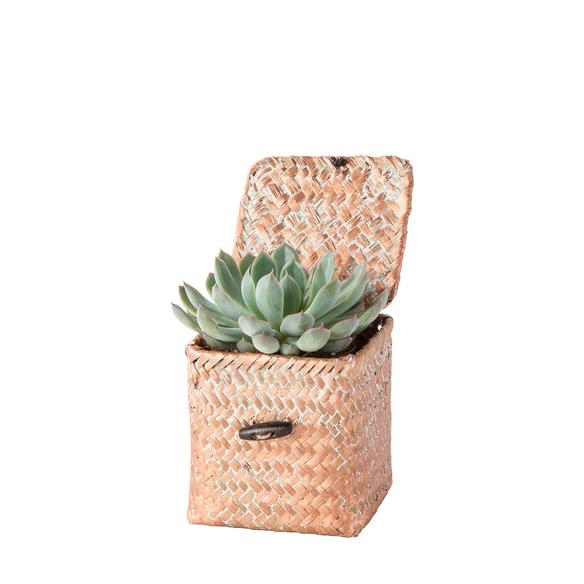Echeveria in a Box