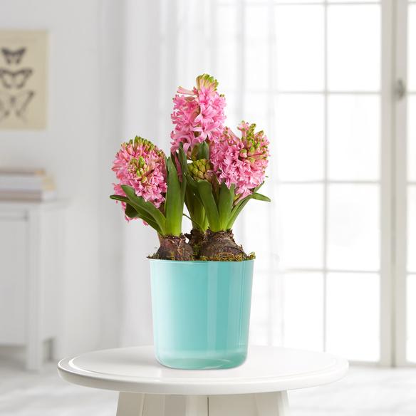 hyazinthen in rosa. Black Bedroom Furniture Sets. Home Design Ideas