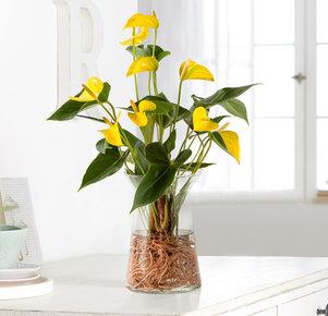 Anthurie Water Plant in Gelb in Eco Vase in Gelb und Grün