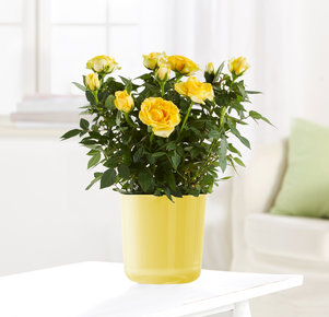 Topfrose in Gelb im Glasübertopf in Gelb