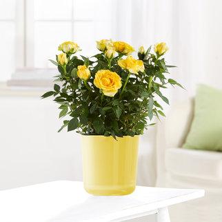 Topfrose in Gelb im Glasübertopf