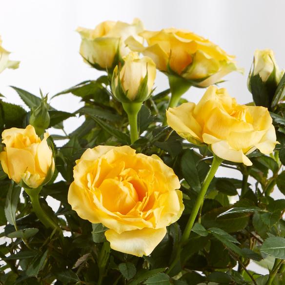 Oster-Rose im Glas-Übertopf
