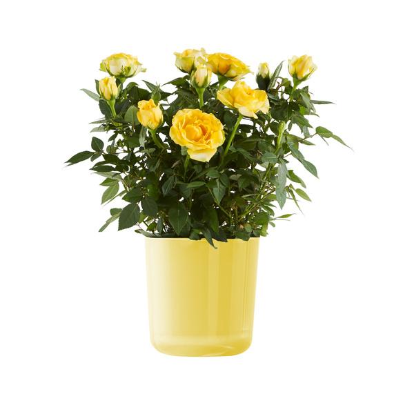 Topfrose in Gelb im Glas-Übertopf