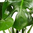 Monstera Water Plant in Glasvase