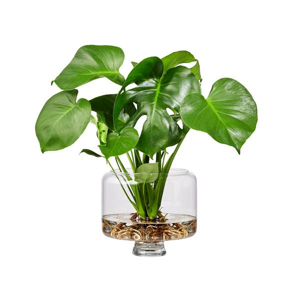Monstera Water Plant in Glasvase