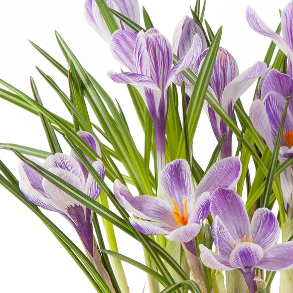 Krokus im lilafarbenen Übertopf