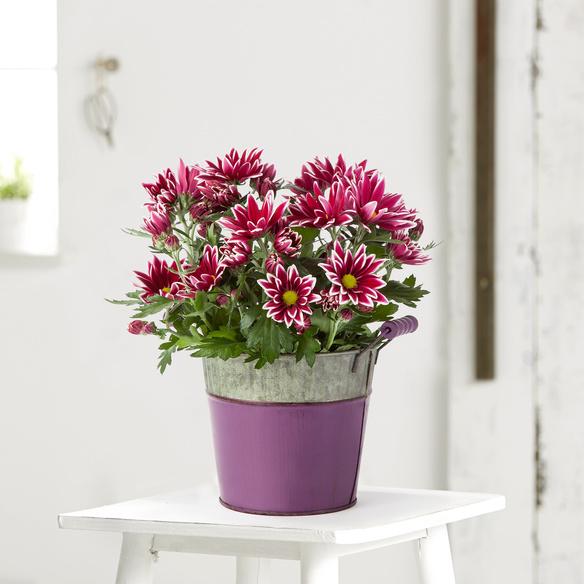 Chrysantheme Ciao im Zink-Übertopf