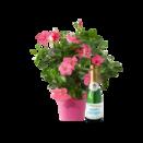 Pflanze Dipladenia Spalier mit Piccolo Happy Birthday