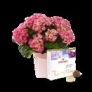 Pflanze Curly Wurly mit Hachez Pralinés Zum Geburtstag