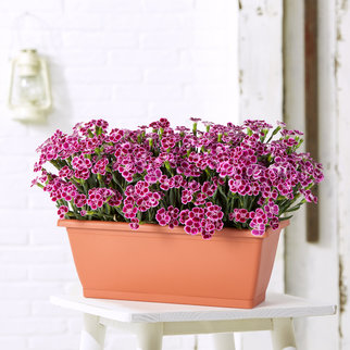 Dianthus Pink Kisses im Blumenkasten