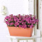 Dianthus Violet im Blumenkasten