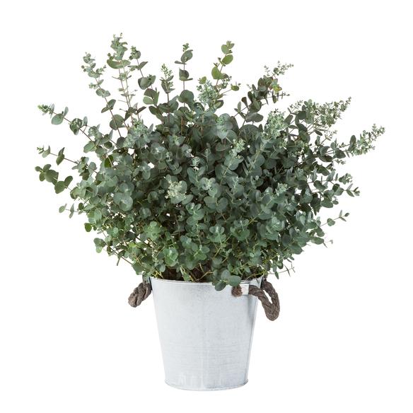 Eukalyptus im Zinkeimer