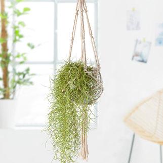 Makramee mit Luftpflanze Tillandsia Usneoides