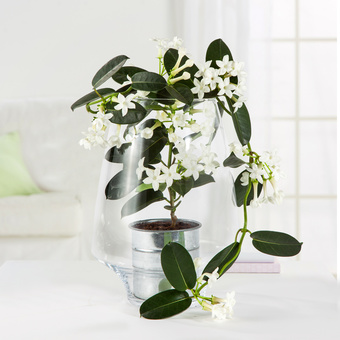 Stephanotis in Glasvase