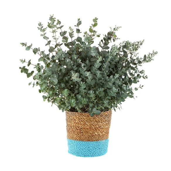 Eukalyptus im Korb