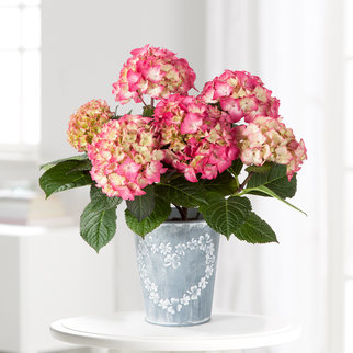 Hortensie mit 3-farbiger Blüte im Zink-Übertopf