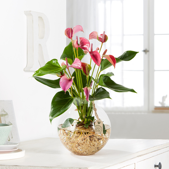 Etwas Neues genug Flamingoblume Water Plant in Pink in Glas-Kugelvase | Blume2000.de @FG_89