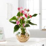 Flamingoblume Water Plant in Pink in Glas-Kugelvase