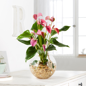Flamingoblume Water Plant in Pink mit Glas-Kugelvase